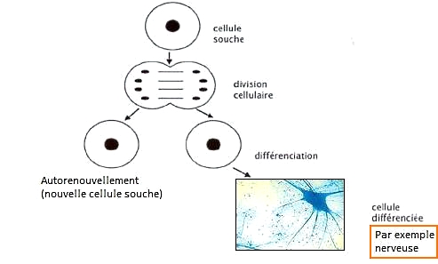cellules souches explications
